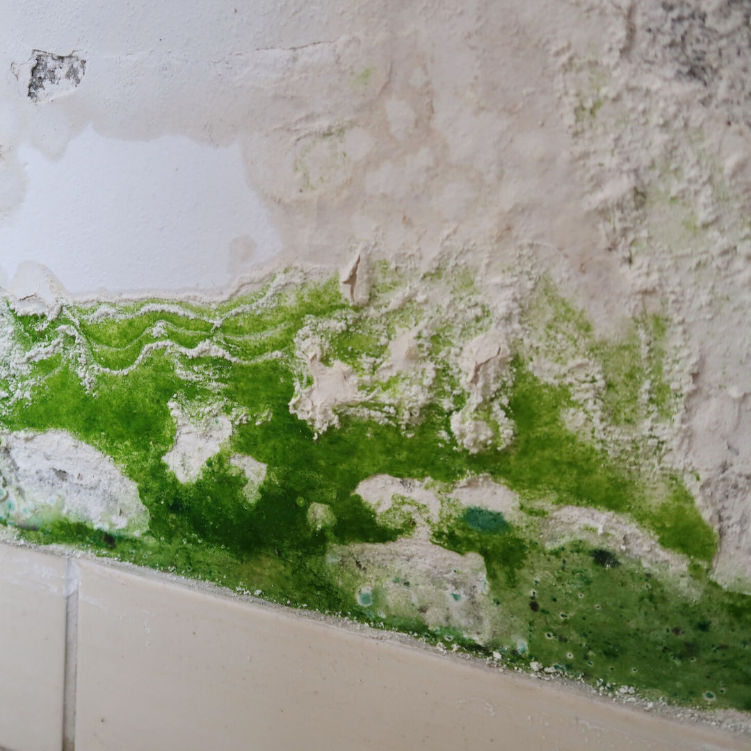 green alternaria mold on white bathroom floor tile and wall